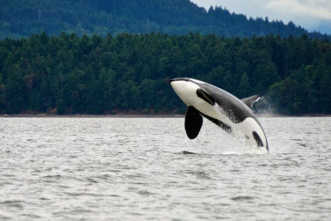 orca spotted jumping in British Columbia. Places to visit in Canada