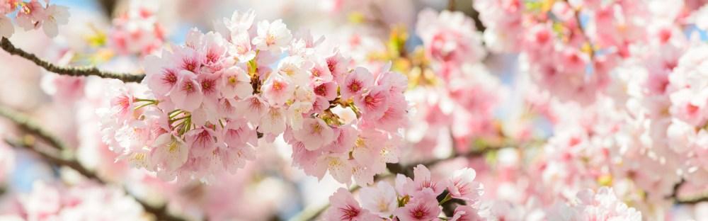o et quand assister la floraison des cerisiers ou. Black Bedroom Furniture Sets. Home Design Ideas