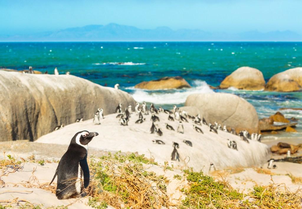 Пингвиний пляж в ЮАР