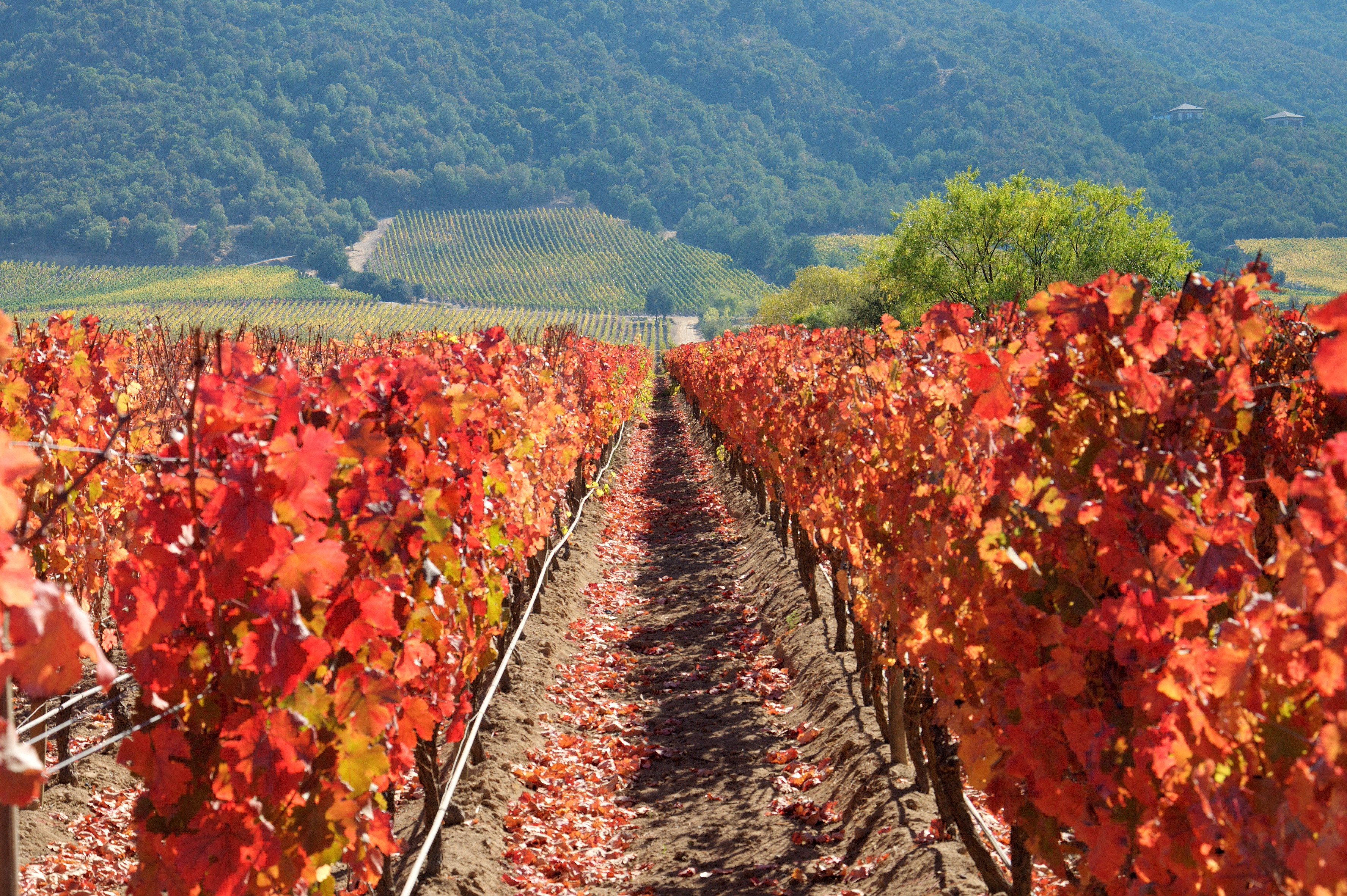Чилийское вино — хорошее? Куда поехать на винный тур в Чили