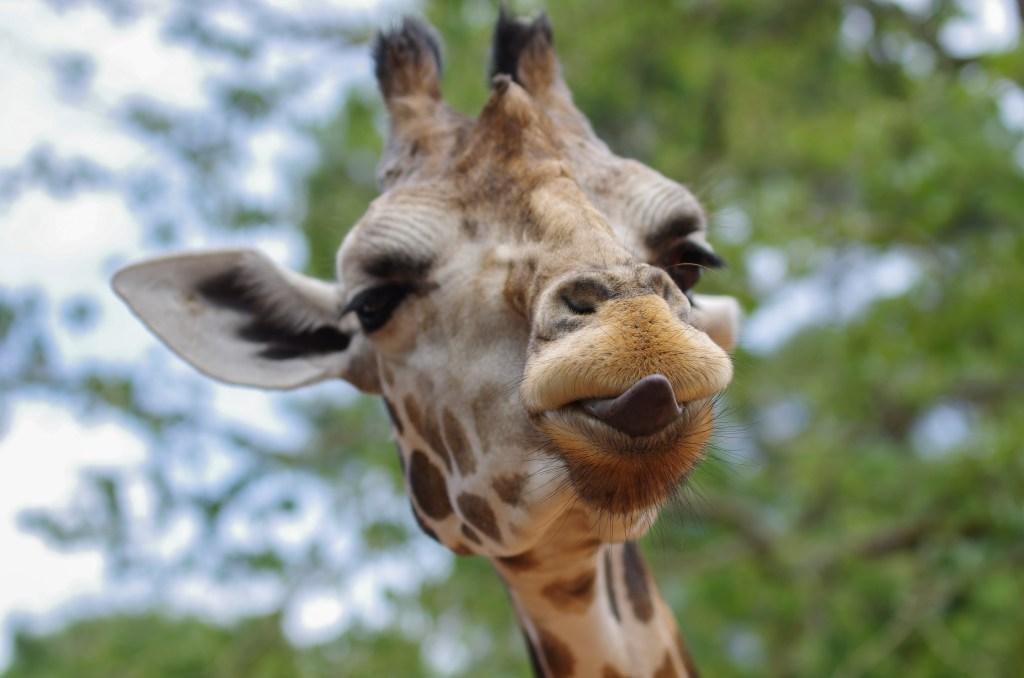 Жираф в зоопарке Дебрецена