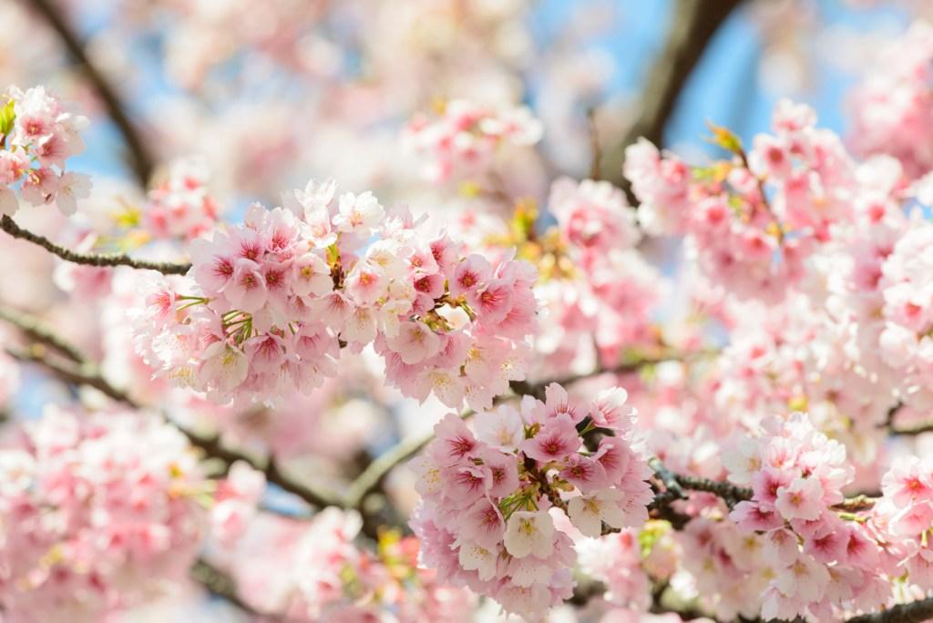 cherry blossom sakura japan korea flight deals