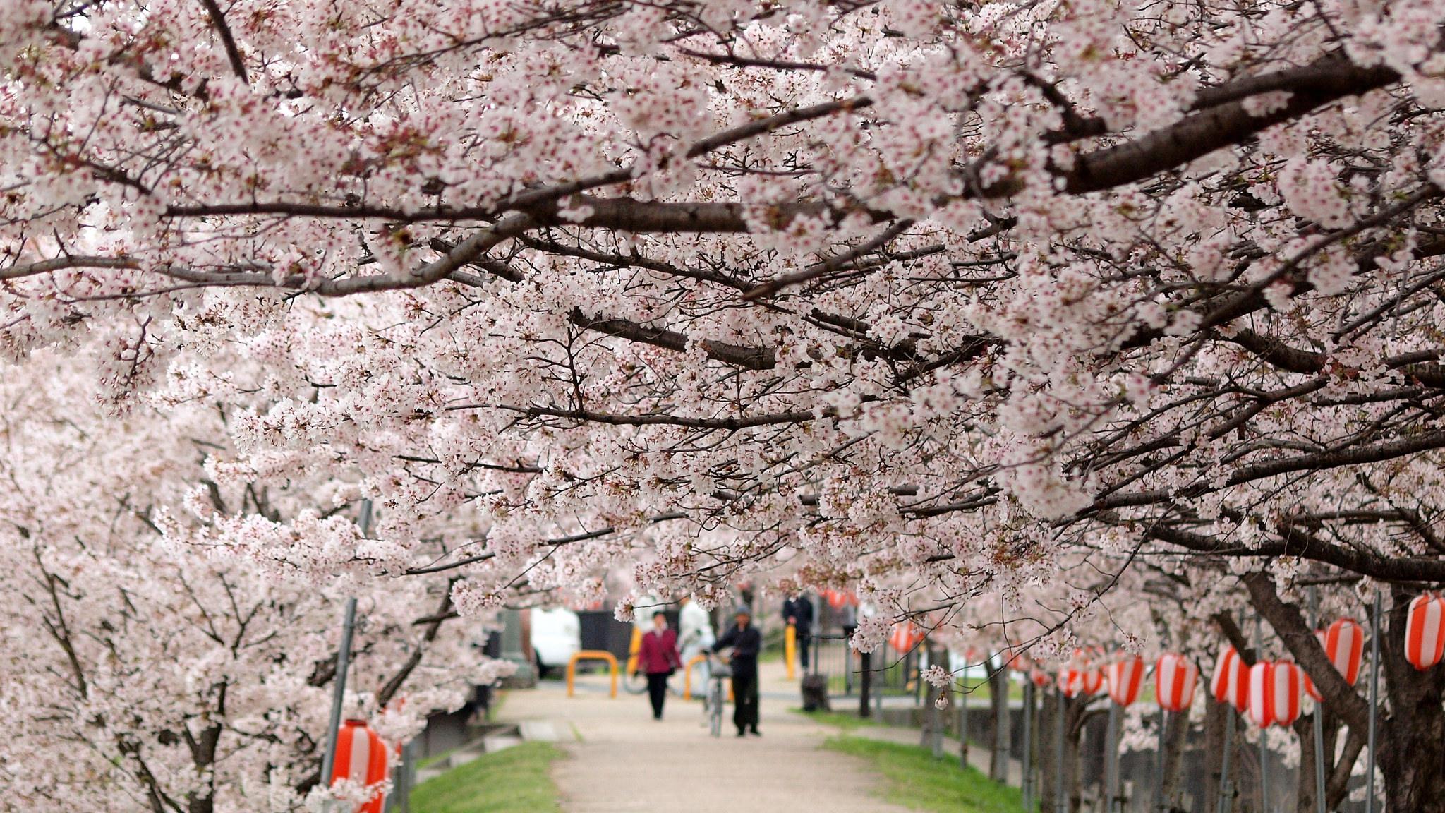 cherry blossom festival 2020 - HD1920×1080