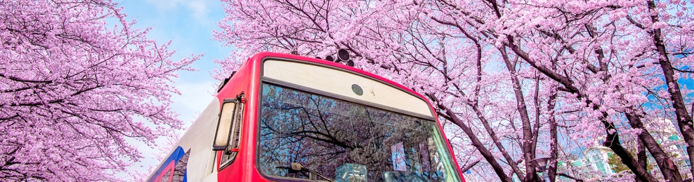 When And Where To See Cherry Blossoms In Korea During Sakura Season