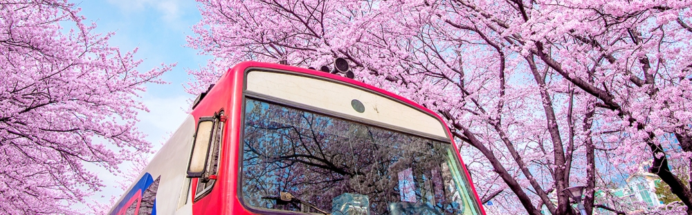 Best places to see cherry blossoms in Korea for 2020