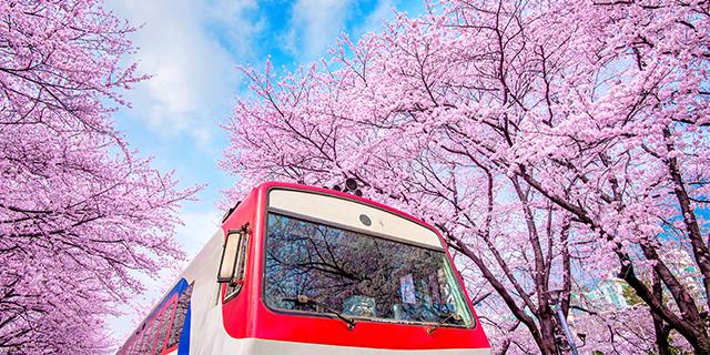 Korea Sakura Cherry Blossom