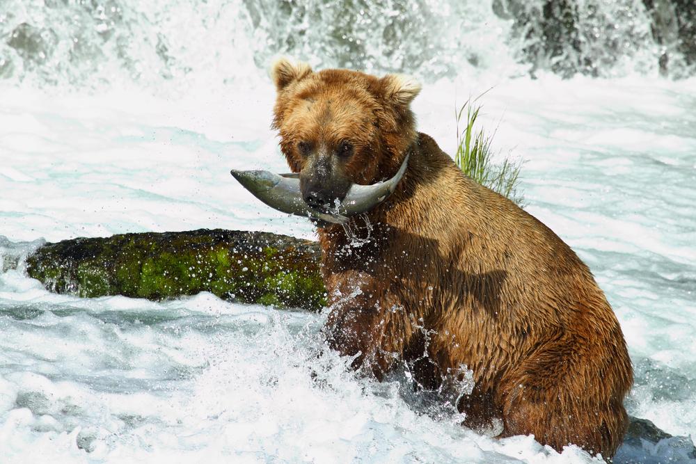 Fiskande björn i Alaska.