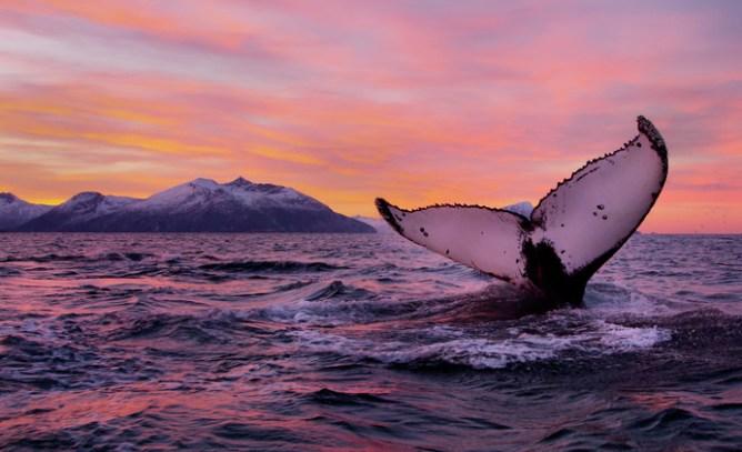 Ουρά φάλαινας ξεπηδά απ' τον ωκεανό το ηλιοβασίλεμα