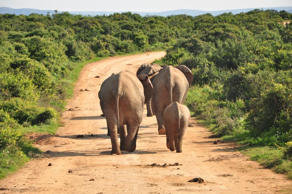Elefantes caminando en el parque de Addo
