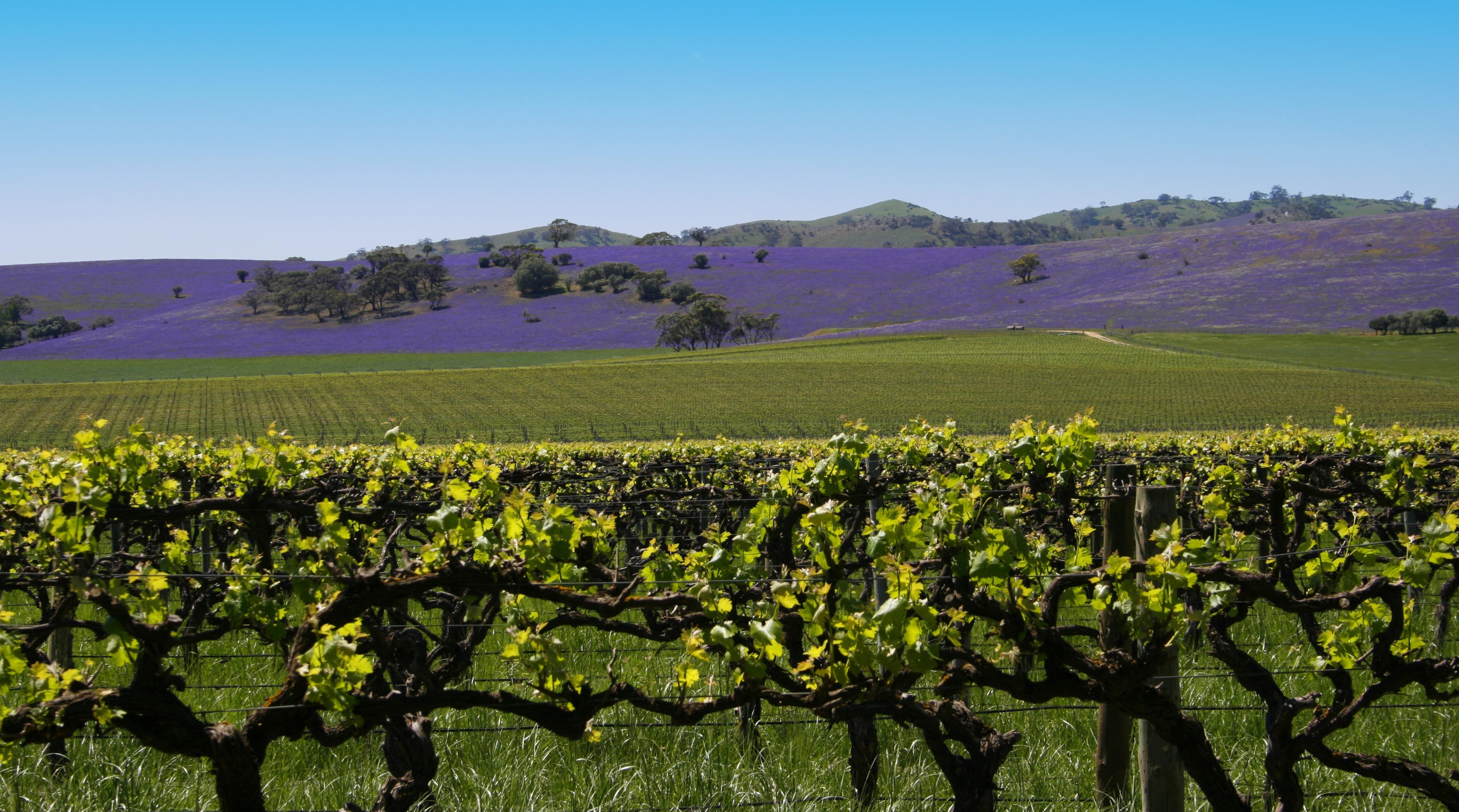 Виноградники Австралии — куда поехать