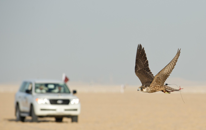 Şahinle avlanma Katar