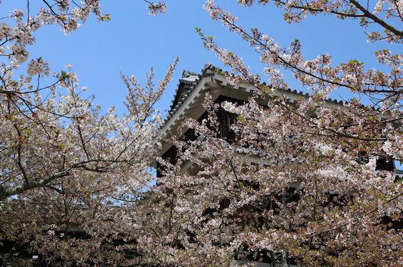 愛媛県 松山城内の桜