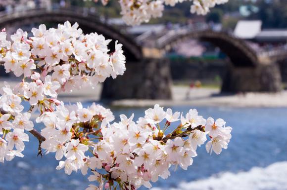 桜の季節の錦帯橋(山口県)
