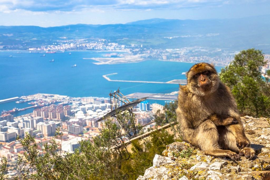 Mono macaco en Gibraltar
