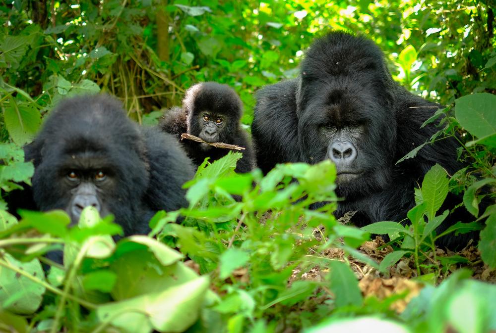 今年行くべき旅先トップ10 ルワンダ キガリ Kigali マウンテンゴリラ