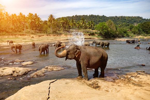 スリランカ「ゾウの孤児院」でのびのび過ごすゾウ達