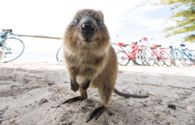A cheery quokka on Rottnest Island - Western Australia tours